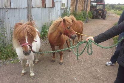 Setland Pony2