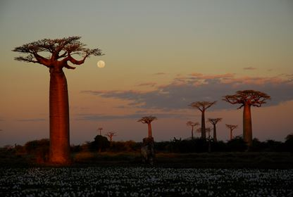 Morondava  Baobab Alley (2)