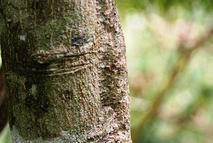 Amber Mountain NP  Uroplatus Gecko
